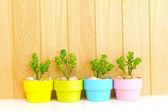 Collection of daisy tree in colorful flowerpot. — Stock Photo