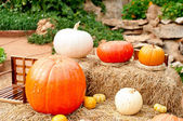 Pumpkins (Cucurbita moschata) — Stock Photo