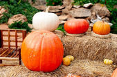 Pumpkins (Cucurbita moschata) — Stock Photo