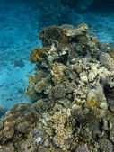 Coralreef in Red Sea — Stock Photo