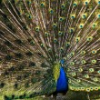 The peacock — Stock Photo