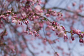 Cherry tree with buds — Stock Photo