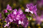 The rhododendron flowers — Stock Photo