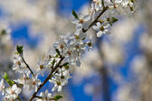 Blooming cherry twig — Stock Photo