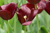Tulipa roxa profundo — Foto Stock