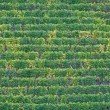 Cochem vineyard - Stock Photo