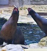 Seals catching fish — Stock Photo