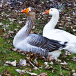 Two geese — Stock Photo #25400773