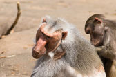 Two baboons — Stock Photo