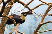 A hornbill — Stock Photo