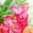 Impala lily adenium — Stock Photo #31554933