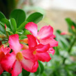 Impala lily adenium — Stock Photo #31555041