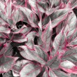Red leaves on black and white  — Stock Photo