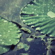 Drops water on lotus leaf. — Stock Photo