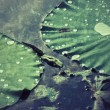 Stock Photo: Drops water on lotus leaf.