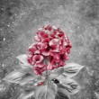 Red flower on black and white — Stock Photo