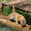 Stock Photo: Bengal tigers.