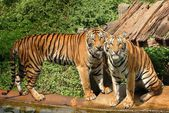 Bengal tigers. — Stockfoto