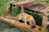 Bengálských tygrů. — Stock fotografie