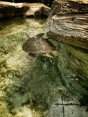 Soft Shelled Turtle — Stockfoto