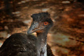 Emu at a Zoo — Stock Photo