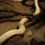 Постер, плакат: White mamba snake