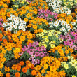 Colorful daisy flowers — Stockfoto
