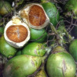 Stock Photo: Betel palm