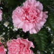 pink carnation flowers  — Stock Photo
