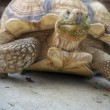 Stock Photo: Crawling tortoise