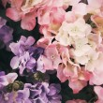 Beautiful hydrangea flowers — Stock Photo #37018555