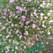 Pink baby's breath flowers — Stock Photo #37089895