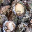 Freshly caught oysters — Stock Photo