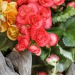 Stock Photo: Begonia flowers