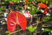 Spadix flower — Stock Photo