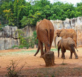 Familia de elefantes — Foto de Stock