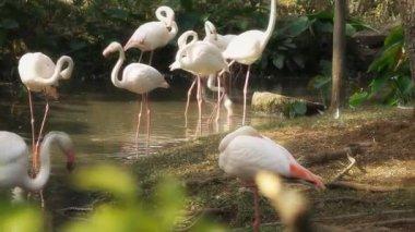 Flamingo — Stockvideo