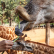 Feeding Giraffe — Stock Photo