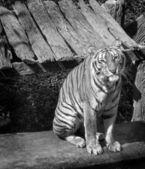 Bengal tiger sitting — Stock Photo