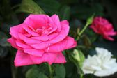 Rosa Ros — Stockfoto