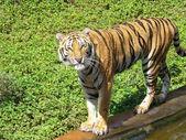 Bengal tiger walking — Stock Photo