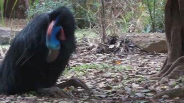 Kazuar ptak — Wideo stockowe