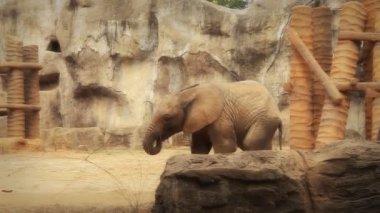 Słoń — Wideo stockowe
