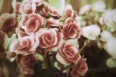 Begonia flowers — Stock Photo