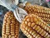 Dried cob corn — Stock Photo