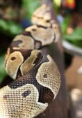 Elephant trunk snake — Stock Photo