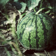 Watermelon — Stock fotografie #38289093