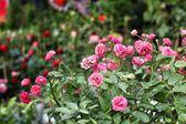 Roze roos — Foto Stock
