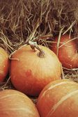Orange frisch Kürbis in der farm — Stockfoto