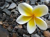 White frangipani flower — Stock Photo